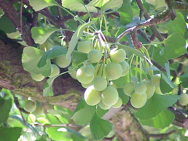 Hạt và lá cây bạch quả