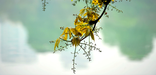 Cây hoa mõ,hoa mõ,cây hoa mõ bên hồ Gươm,cây hoa mõ bên hồ Hoàn Kiếm