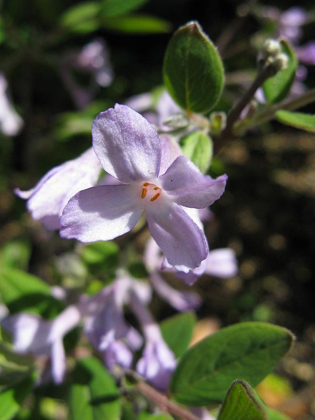Nguyên hoa,Daphne genkwa,thụy hương,Daphne