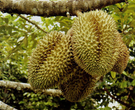 Sầu riêng,Durio,Malvaceae,Durionaceae,cây ăn quả,vua của các loại trái cây