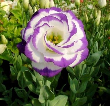 Hoa Cát tường,hoa cat tuong,cát tường,hoa lan tường,hoa lan tuong,lan tường,cat tuong,hoa tình yêu,y nghia cua hoa cat tuong,hoa tình yêu,hoa may mắn,Eustoma russellianum,Eustoma grandiflorum,họ Long Đởm,Gentianaceae