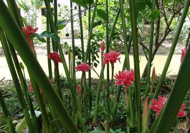 Đa lộc,hoa đa lộc,hoa sen đất,gừng tàu,hoa vạn phúc,Etlingera elatior,họ gừng,Zingiberaceae,đậu khấu