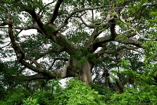 Cây vả,vả,cây sung Mỹ,sung tai voi,sung lá rộng,Ficus auriculata,Ficus