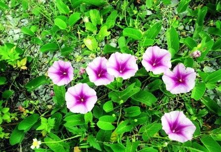 Rau muống,Ipomoea aquatica,họ bìm bìm,Convolvulaceae,cây thủy sinh,tác dụng của rau muống,trường hợp không ăn rau muống,bài thuốc từ rau muống