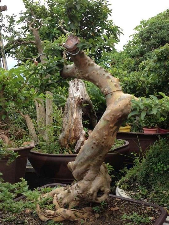 Cây ổi làm cảnh bonsai đẹp