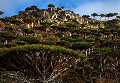 Cây máu rồng,máu rồng,cây Long Huyết,Dracaena Cinnabari,Dragon Blood Tree