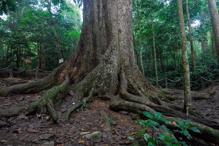 Cây chò ngàn năm,Cúc Phương,rừng cúc phương