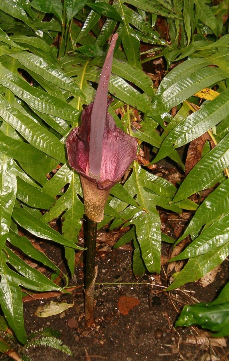Khoai nưa,củ nưa,khoai ngái,cây củ nưa,Amorphophallus konjac,họ ráy,Araceae