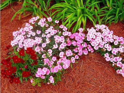 Hoa mã tiên nữ,mã tiên nữ,Verbena hybrida,hoa đẹp