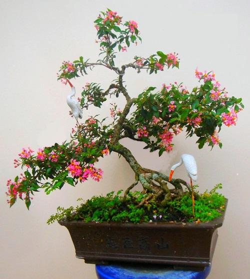 Cây hồng ngọc mai