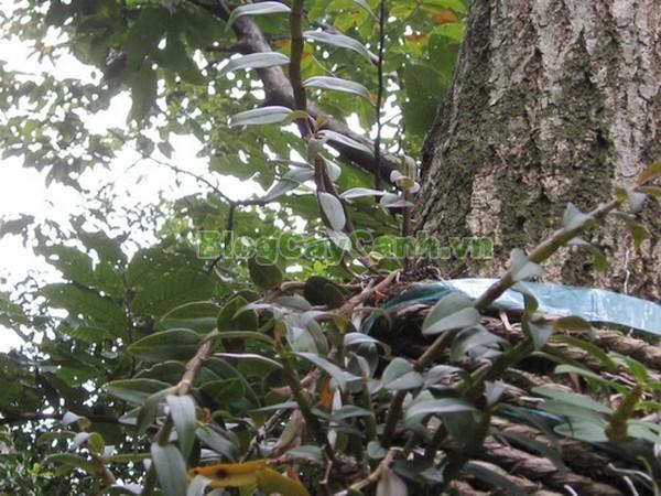 Cây Thạch Hộc Tía,công dụng cây thạch hộc tía, cây thạch hộc tía, cay thach hoc tia, cây thuốc thạch hộc tía,Dendrobium officinale Kimura et Migo, chi thạch hộc, họ lan, họ Orchidaceae,