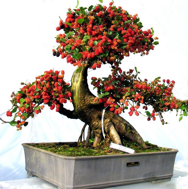 Cây dâu tằm bonsai