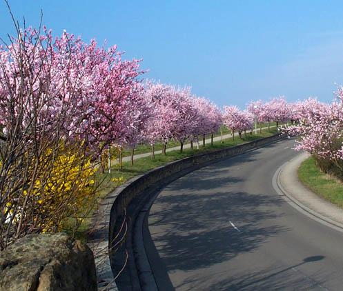 Hạnh đào,Hạnh nhân,hạnh đào nhân,biển đào,đào dẹt,lợi ích của hạnh nhân,Prunus dulcis,chi mận mơ,Prunus,Amygdalus,cây ăn quả
