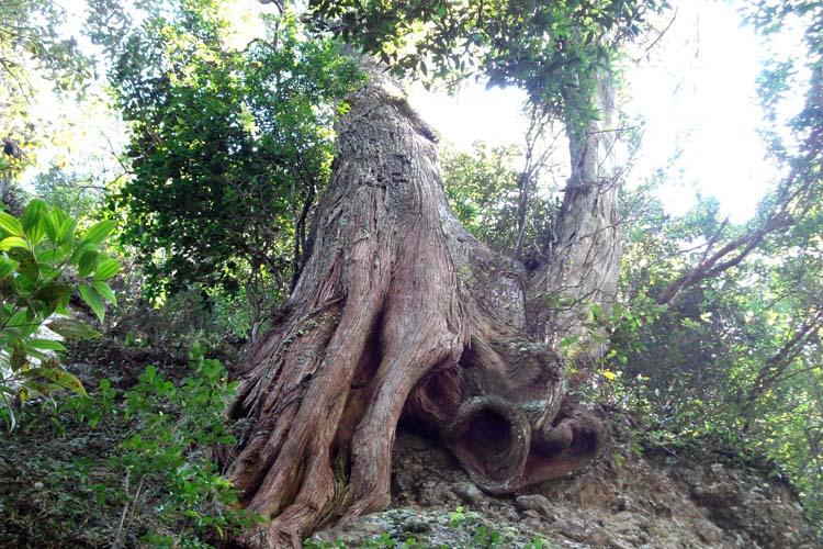 Bách xanh,cây bách,pơ mu giả,tô hạp bách,Calocedrus macrolepis,cây bách cổ thụ ở Ba Vì