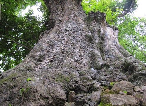 Cây thị cổ thụ, cây thị di sản Việt Nam ở Nghệ An