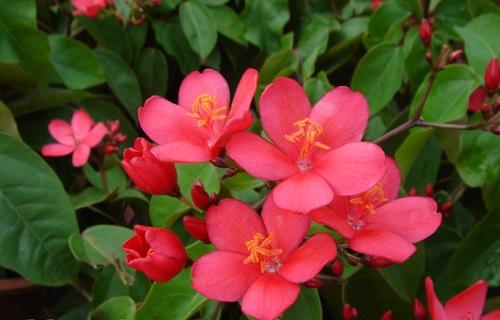 Hồng mai,cây hồng mai,nhất chi mai,dầu lá đơn,Jatropha pandurifolia Andr,họ Thầu dầu,Euphorbiaceae