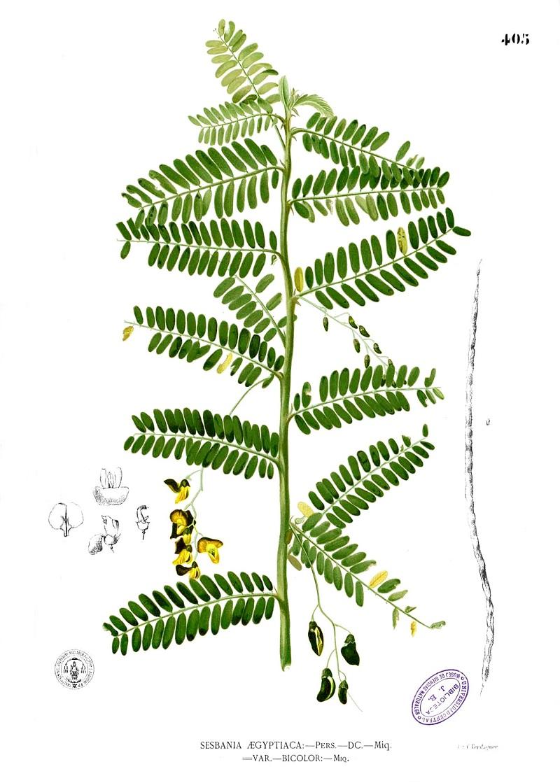 Điên điền,điền thanh,cây điên điển,bông điên điển,cây điền thanh,điền thanh thân tía,điền thanh bụi,họ đậu,sesbania sesban,fabaceae