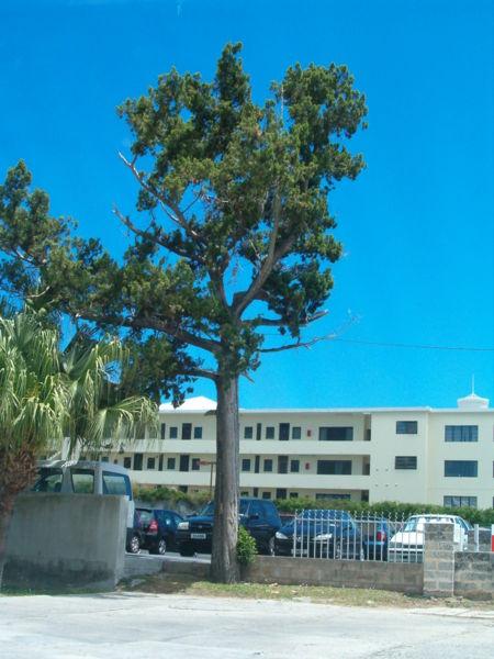 Họ hoàng đàn,họ bách,Juniperus bermudiana