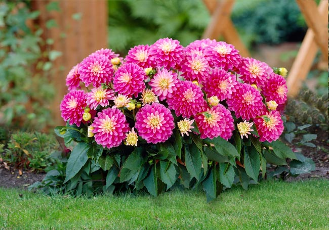 Thược dược,hoa thược dược,Dahlia variabilis Desf,họ cúc,Asteraceae,hoa tướng,ý nghĩa hoa thược dược,truyền thuyết hoa thược dược