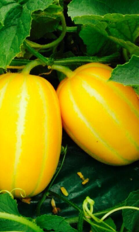 Dưa gang,dưa hoàng kim,cây ăn quả,cucumis sativus var. conomon,dưa chuột,dưa leo,họ bầu bí,cucurbitaceae