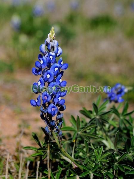 Cây Hoa Mũ Len,cây hoa mũ len, cây mũ len, mũ len xanh, hình ảnh cây hoa mũ len,biểu tượng bang texas, texas, cây hoa mũ len đẹp, vườn hoa mũ len,
