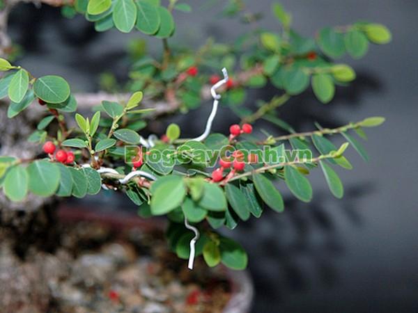 Cây Cù Đề,cây cù đề, hình ảnh cây cù đề, cây cù đề chữa bệnh, cay cu de, Breynia vitis-idaea (Burm. f.) C.E.C. Fischer (B. rhamnoides Muell - Arg.), thuộc họ Thầu dầu - Euphorbiaceae, Euphorbiaceae, thầu dầu,