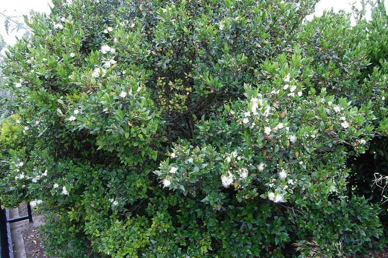 Hương đào,cây hương đào,Myrtus,họ đào kim nương,họ sim,Rhodomyrtus