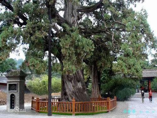 Bách xanh,cây bách,pơ mu giả,tô hạp bách,Calocedrus macrolepis,cây Bách cổ thụ ở Trung Quốc
