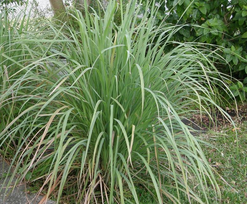 Cây sả,chi sả,các loài sả,tác dụng của cây sả,bài thuốc từ cây sả,Cymbopogon,họ Hòa thảo,họ Lúa,họ Cỏ,Poaceae,Gramineae