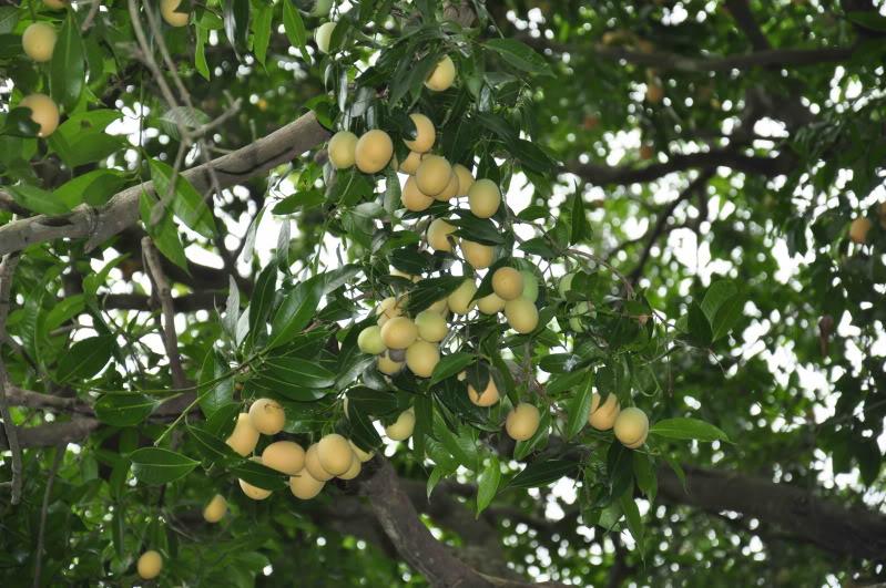 Thanh trà,cây thanh trà,thanh trà ghép,Bouea gandaria Blume,Bouea macrophylla Griff,Anacardiaceae,Sapindales,Marian plum,Gandaria,Marian mango,Plum mango,cây ăn quả