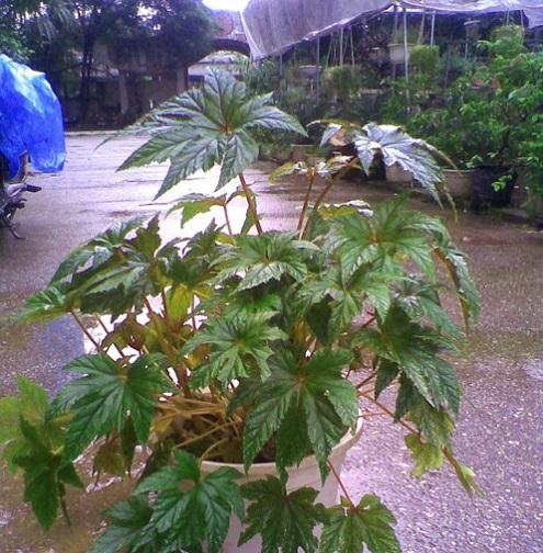 Thu hải đường,Thu hải đường,thu hải đường lá phong,Begonia,Begoniaceae,hoa Kim Chính Nhật,cây hoa đẹp