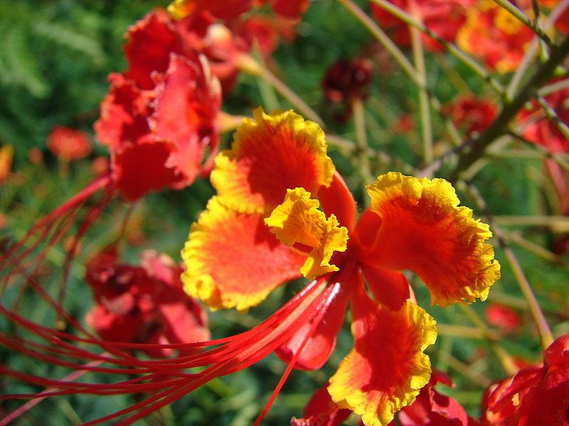 Kim phượng,cây phượng,phượng ta,điệp,điệp cúng,caesalpinia pulcherrima,Poinciana pulcherrima,chi Vang,Caesalpinia,họ Đậu,Fabaceae,phượng vĩ,phiên hồ điệp,kim phượng hoa,khổng tước hoa,hoàng hồ điệp