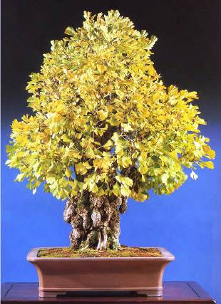 Cây bạch quả - ngân hạnh bonsai