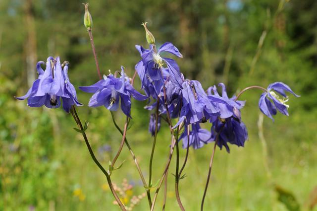 Hoa bồ câu,Mao lương hoàng liên,hoa sao Hoàng liên,hoa lâu đẫu,hoa rẽ quạt,Aquilegia vulgaris
