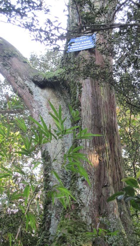 Bách xanh,cây bách,pơ mu giả,tô hạp bách,Calocedrus macrolepis
