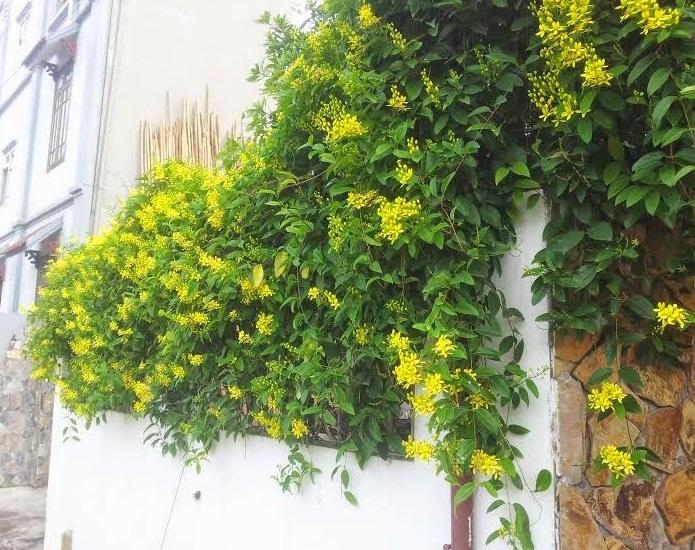 Mai hoàng yến,mai hoang yen,dây Kim đồng,Tristellateia australasiae,họ Sơ ri,họ Kim đồng, họ Dùi đục,Malpighiaceae