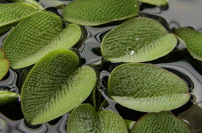 Bèo vẩy ốc,beo vay oc,bèo ong,Salvinia natans,Salviniaceae,cây thủy sinh