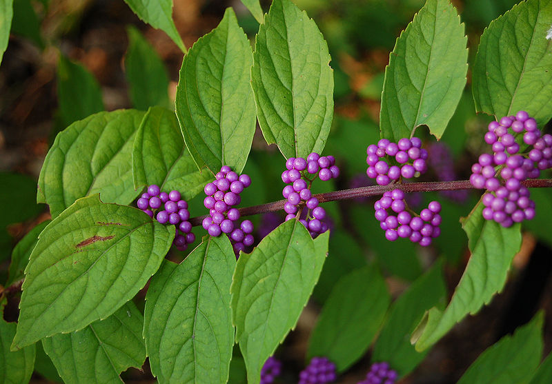 Tử châu,tử châu lá nhỏ,cây thuốc ké,Callicarpa dichotoma,cỏ roi ngựa,Verbenaceae,họ hoa môi,Lamiaceae,chi tử châu,chi nàng nàng,chi tu hú,Callicarpa
