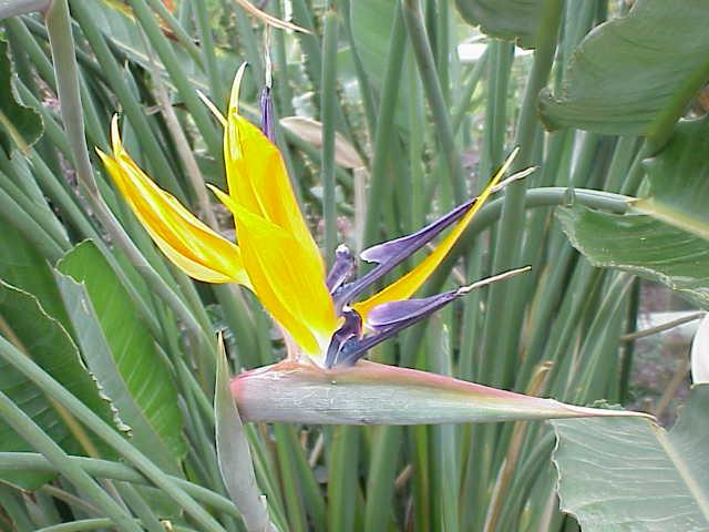 Thiên điểu,hoa thiên điểu,cây thiên điểu,hoa chim trời,hoa chim thiên đường,chim thiên đường,Strelitzia reginae,chi thiên điểu,họ chuối rẻ quạt,ý nghĩa hoa thiên điểu,ý nghĩa hoa chim thiên đường
