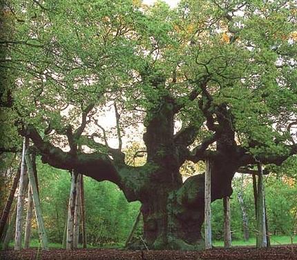 Cây sồi,Quercus