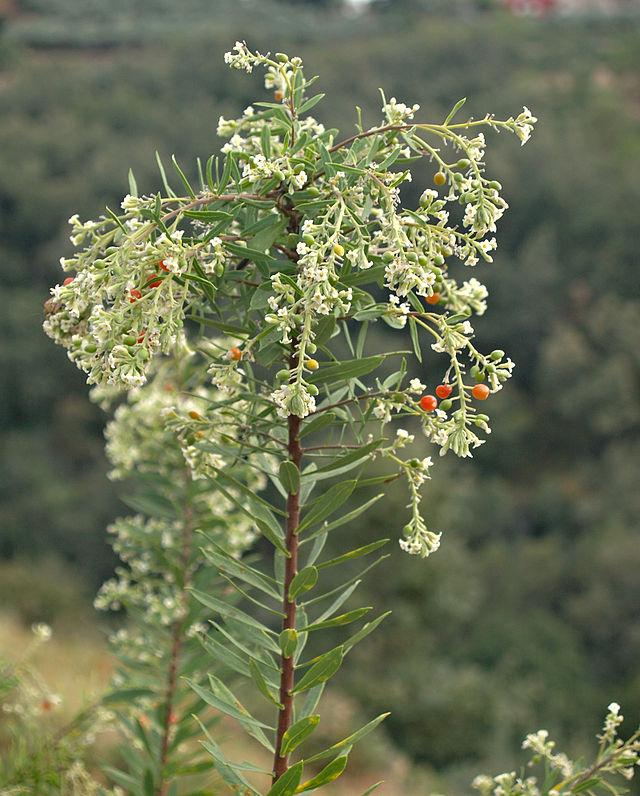 Thụy hương lá lanh,Daphne gnidium,thụy hương,Daphne