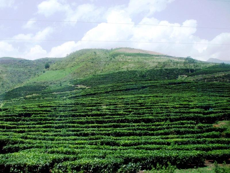 Cây trà,cây chè,Camellia sinensis,trà xanh,trà ô long,trà đen,chè Thái Nguyên,chè Phú Thọ,chè Hòa Bình,chè Tân Cương Thái Nguyên