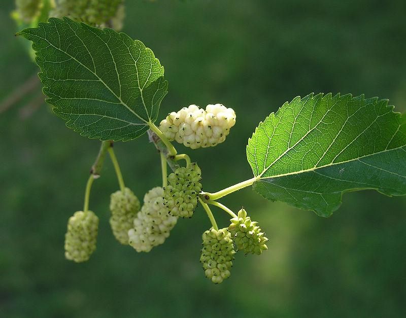 Cây dâu tằm,dâu tằm,cây dâu,cây dâu trắng,morus alba