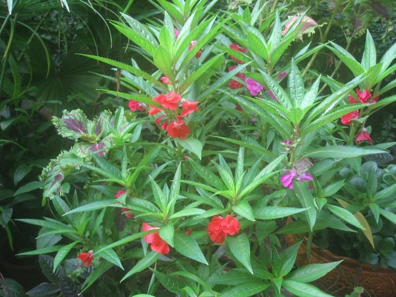 Cây bóng nước,bóng nước,cây móng tay,phượng tiên hoa,Impatiens balsamina,Balsaminaceae,cây thuốc,tác dụng của cây bóng nước,bài thuốc từ cây bóng nước,cây bóng nước làm thuốc