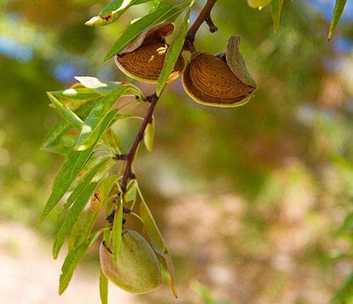 Hạnh đào,Hạnh nhân,hạnh đào nhân,biển đào,đào dẹt,Prunus dulcis,chi mận mơ,Prunus,Amygdalus,cây ăn quả