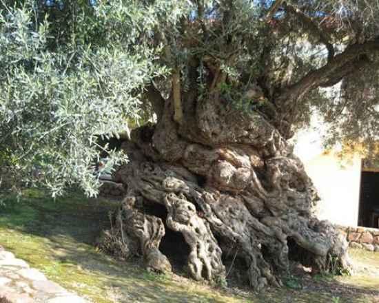 Cây ô liu ở làng Vouves (Hy Lạp),cây nhiều tuổi nhất thế giới