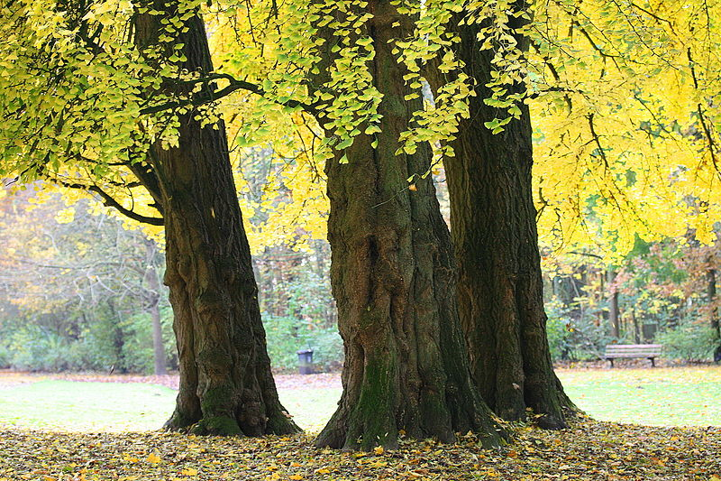 Ginkgo biloba trong công viên Morlanwelz-Mariemont, Bỉ.