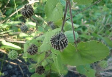Cây cối xay,cối xay,cây chữa bệnh,tác dụng của cây cối xay,bài thuốc từ cây cối xay,cây cối xay chữa bệnh,cây làm thuốc,cây thảo dược,nhĩ hương thảo,kim hoa thảo,Abutilon indicum L,Sida indica L,họ cẩm quỳ,malvaceae,cây bụi