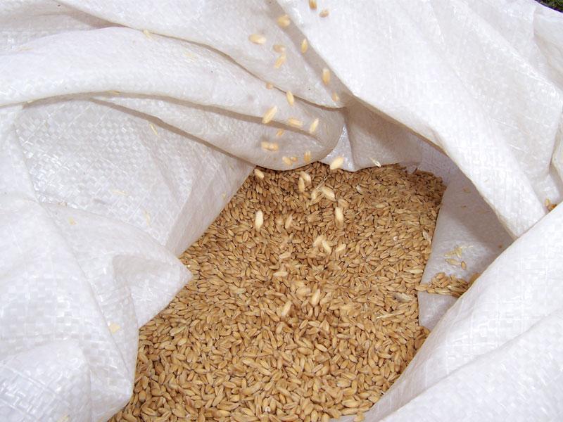 Lúa mì,tiểu mạch,cây lúa mì,cây lương thực,cây ngũ cốc,triticum,các loại lúa mì