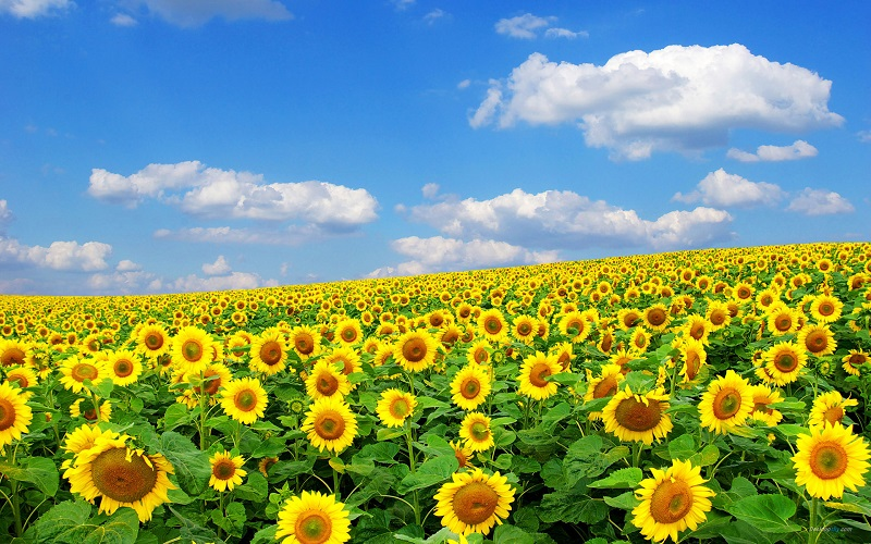 Cánh đồng hoa hướng dương - sunflower